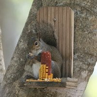 Squirrel eating corn at feeder
