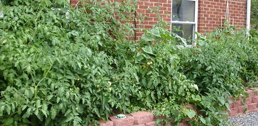 Tomato plants growing in garden