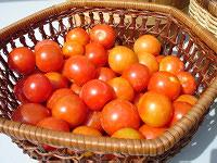 Harvested red tomatoes in basket