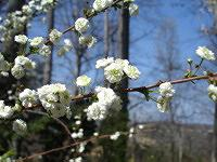 Ten favorite flowering trees shrubs and plants for spring blooms bridal wreath spiraea mightylinksfo