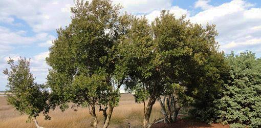 Wax myrtle (left) and pittosporum (right) are both salt tolerant plants