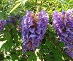 American wisteria in bloom