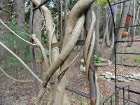Clockwise twining wisteria vines