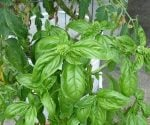 Basil growing near tomatoes in a container garden.