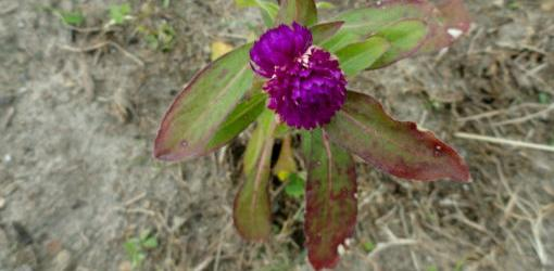Problem with Purple Leaves Caused by Phosphorus Deficiency | Today's