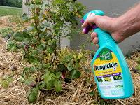 Spraying rose bush with neem oil