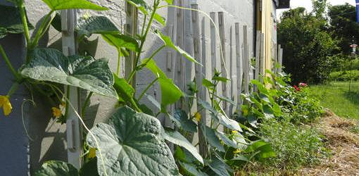 Cucumber vines growing up the side of a shed