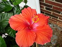 Problem With Tropical Hibiscus Leaves Turning Yellow Todays Homeowner