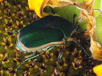 How to Control Green June Beetles and White Grubs in Your