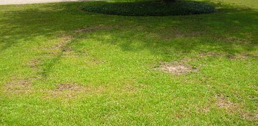 Irregular patches of fungal disease in centipede grass lawn.