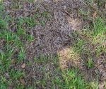 Lawn with dead spots from fungal disease.