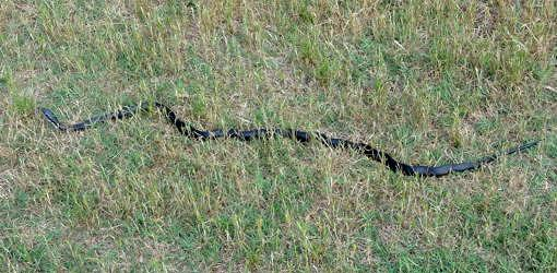 Black Snake Crawling On Ground