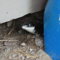 Black snake peering out from behind a container