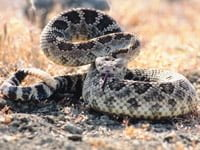 Rattlesnake ready to strike