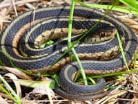 Garter snake on ground