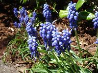 Grape Hyacinth blooms