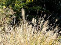 Brown plumes of ornamental grasses.