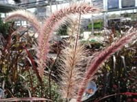Annual fountain grass.