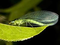 Adult lacewing on leaf