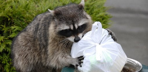 Raccoon with a plastic garbage bag.