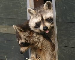How To Protect Your Home From Raccoon Damage Today S