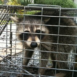 Raccoon trapped at home.