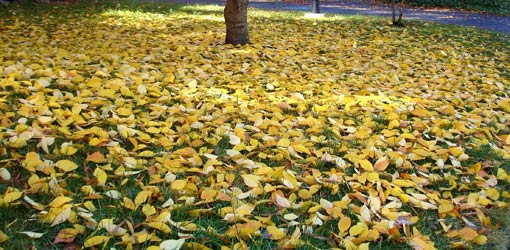 Lawn with fall leaves on the ground
