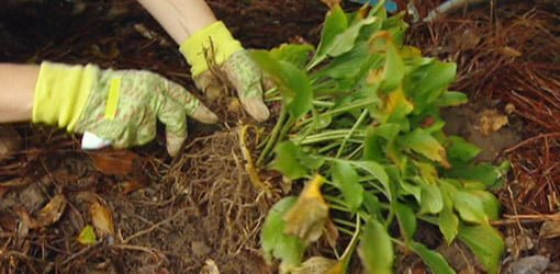 How To Divide Hosta Plants In Your Garden Todays Homeowner