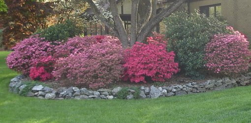 Azalea shrubs blooming in front of house.