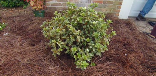 Azalea planted in yard next to house.