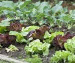 Plants growing in vegetable garden.