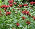 Bee balm is an edible flower that is native to North America.