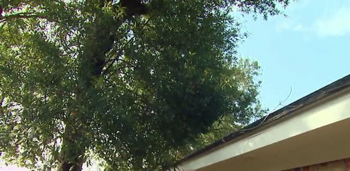 Tree limbs that need to be trimmed away from roof.