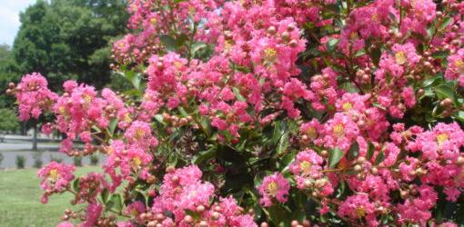 Crape myrtle covered in blooms.