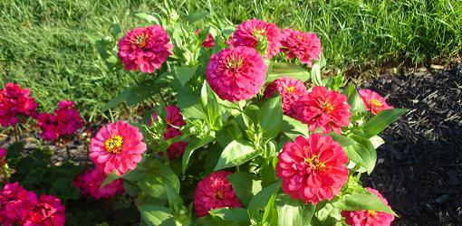 Five Easy Garden Plants to Grow from Seed Todays Homeowner Page 6