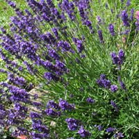 Purple flowering lavender plants.
