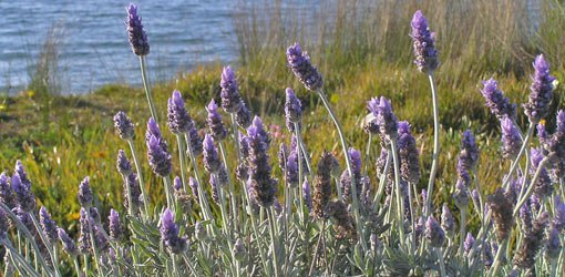 Purple lavender flowers growing near the water.