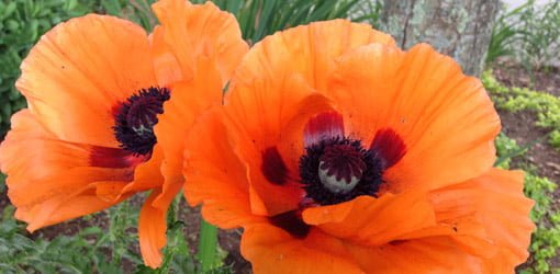 How to grow oriental poppies in your garden todays homeowner two orange poppy flowers with dark centers mightylinksfo