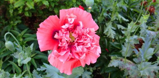 How to grow oriental poppies in your garden todays homeowner pink oriental poppy flower mightylinksfo