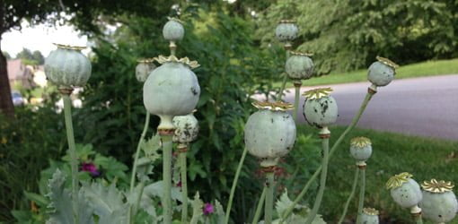 How to grow oriental poppies in your garden todays homeowner poppy seed heads in garden mightylinksfo