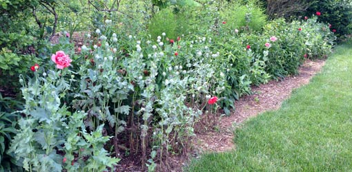 Poppies interplanted with later-blooming coneflowers in a garden.