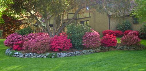 Azalea shrubs blooming under tree.