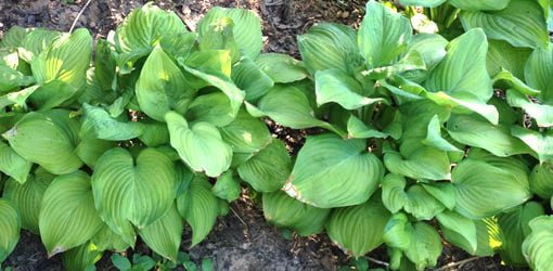 Hosta plants growing in yard.
