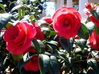 Red camellia flowers.