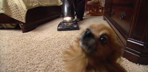 Vacuuming room with dog in it.