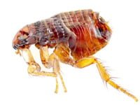 Six Steps To Eliminate Fleas In Your Home Today S Homeowner