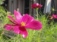 Red Cosmos flower blooming with house in background.
