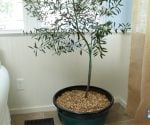Planting Indoor Container Trees