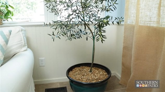 southern-patio-indoor-container-tree