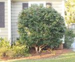 How to Prune Bushes to Look like Trees
